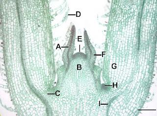 meristem pada tumbuhan