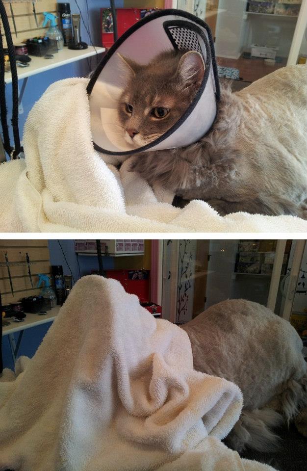 Kucing memakai e-collar