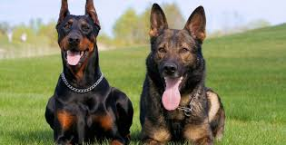 Protect your family with a trained bodyguard dog