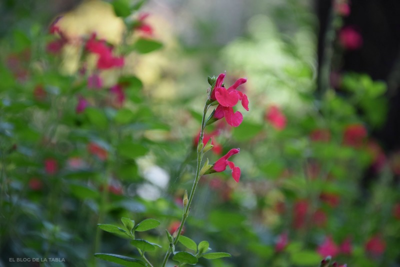 flores rojas de salvia