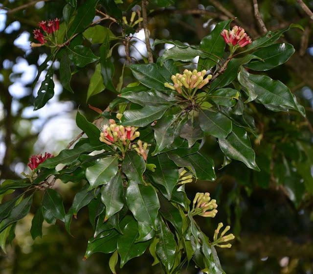 Cây Đinh hương - Syzygium aromaticum - Nguyên liệu làm thuốc Chữa Cảm Sốt