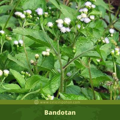 Bandotan