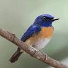 Cara Membuat Burung Tledekan Supaya Suara Lebih Bervariasi