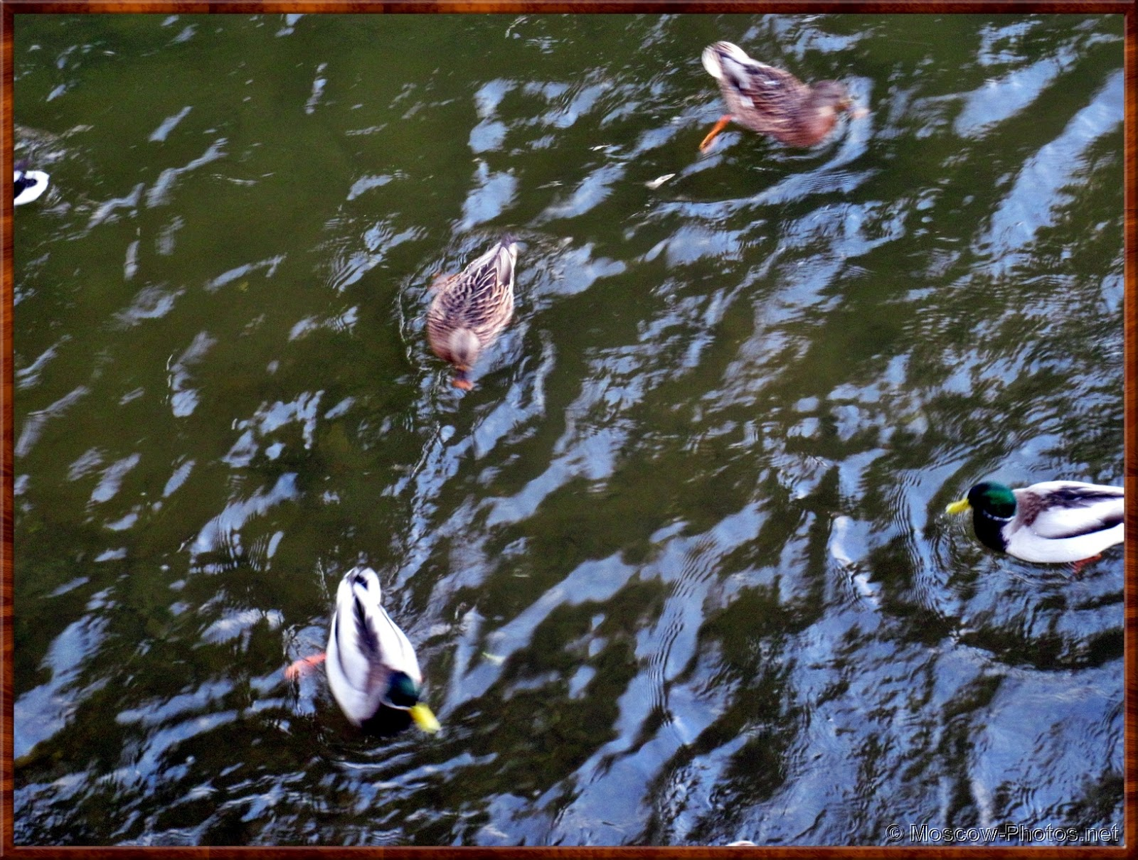Ducks Swim In The Moscow-River