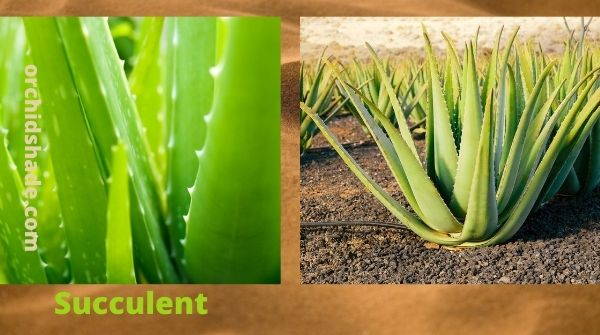 How to Care of Succulents | Aloe-vera