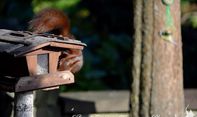 Ein Eichhörnchen auf Vogelfutterjagd