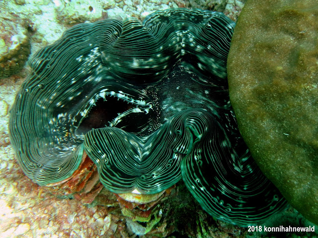 konnihahnewald, uw photography, giant clam, andaman sea, indonesia, sabang, pulau weh, iboih beach, sumatra
