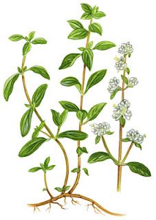 Medicinal Herb: Marjoram. Primarily for -cold symptoms, cough, digestive ailments, lack of appetite, gas, and menopausal symptoms. 31Daily.com