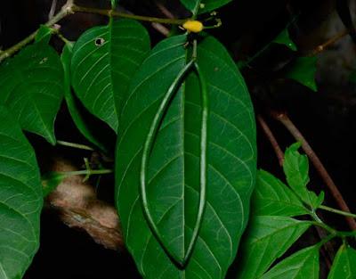 ผล(ฝัก)โมกเหลือง Wrightia viridiflora