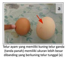 telur ayam besar yang mempunyai 2 kuning telur