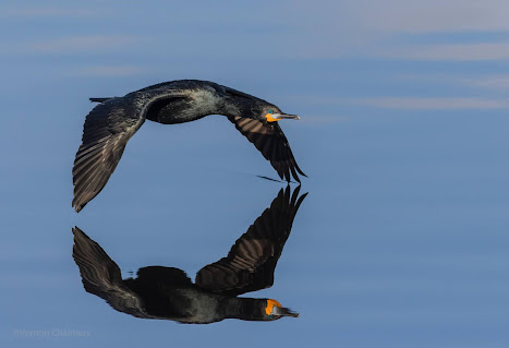 Cape Cormorant in Flight Woodbridge Island - Canon EOS 7D Mark II