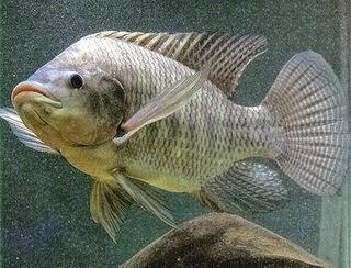 Gambar ikan nilai | Info Tips Mancing Ikan Nilai di Sungai