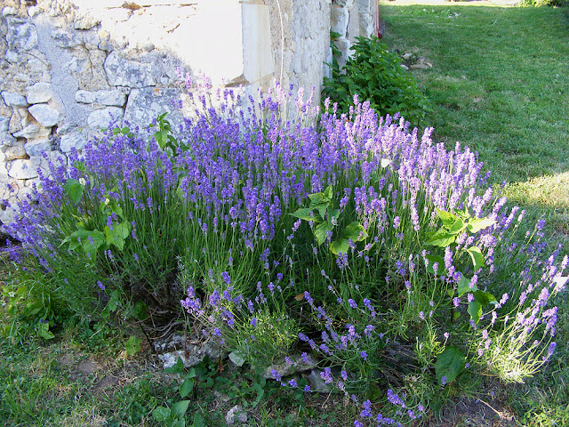 Lavender bush.  Indre et Loire, France. Photographed by Susan Walter. Tour the Loire Valley with a classic car and a private guide.
