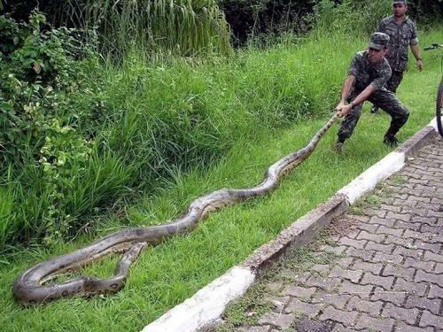Ivanildosantos Foto Ular Cobra Terbesar Di Dunia