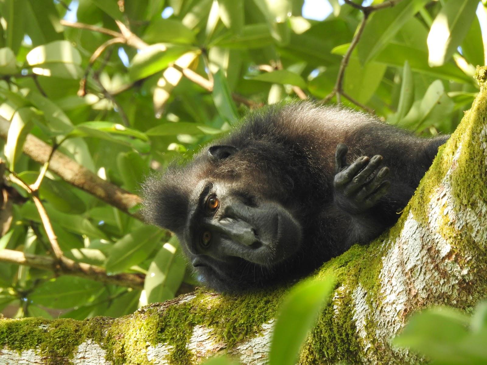 木の上で顔を横に覗かせたクロザル