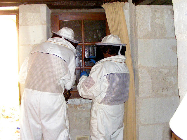 Beekeepers rescuing a feral colony, Indre et Loire, France. Photo by Loire Valley Time Travel.