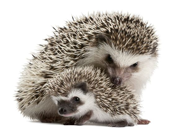 Why do hedgehogs lick themselves phrase... super