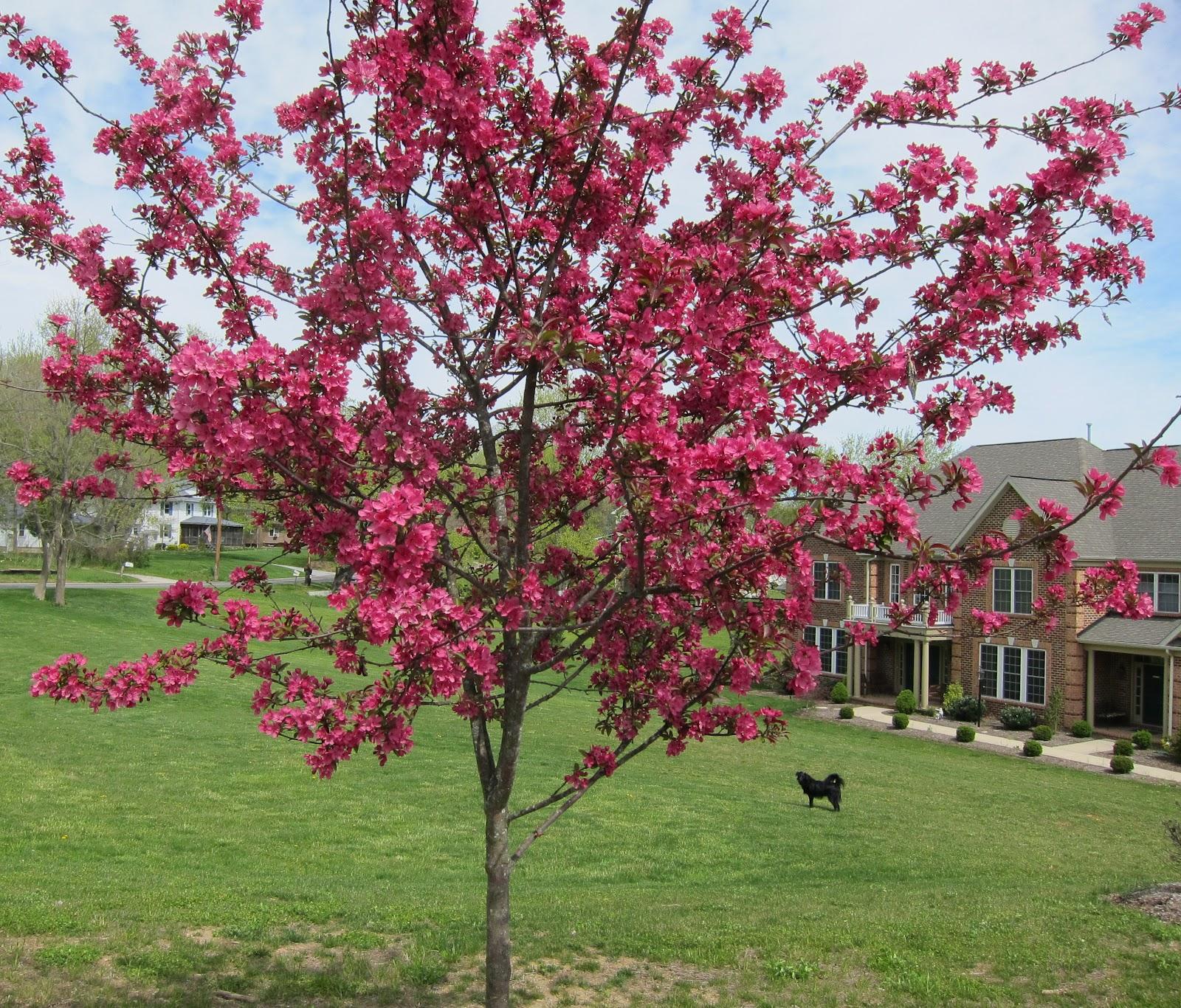 Whistling Prairie: Crab Apple Tree In Full Bloom