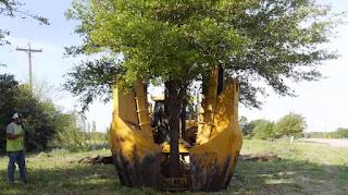 Cara memindahkan pohon besar