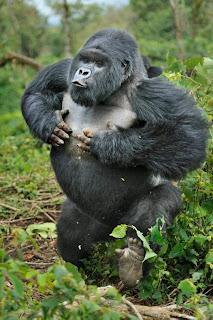 Wildlife Photographer of the Year gorilla