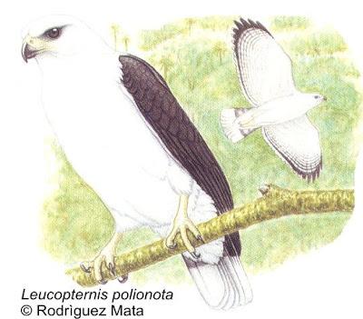 Aguilucho blanco Leucopternis Pseudastur polionotus