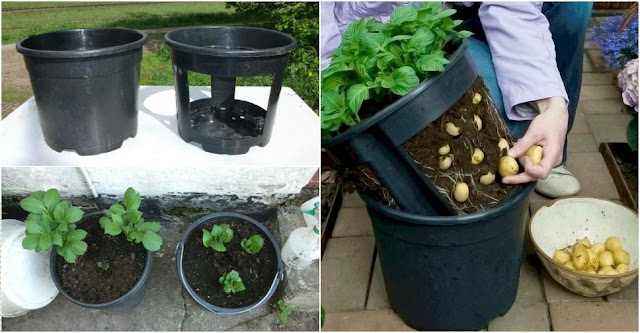 DIY Growing Potatoes in Container or Buckets