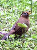 Melodius Laughingthrush-Chinese Hwamei – Hong Kong – June 2008 – photo by Charles Lam