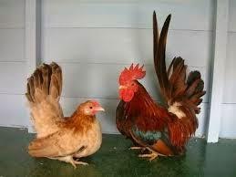 Tips Memelihara/Beternak Ayam Kate Agar Bisa Bertelur ...