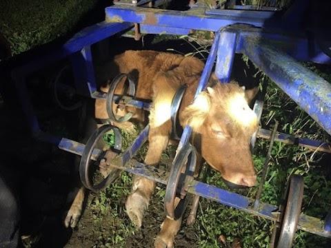 Bikaborjút mentettek a celldömölki tűzoltók: kombinátorba szorult a feje