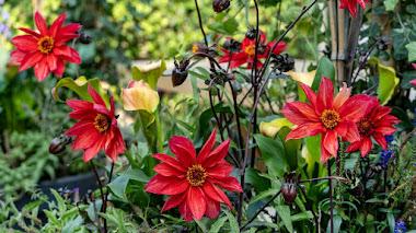 Dalias con flores accesibles para abejas y otros insectos polinizadores