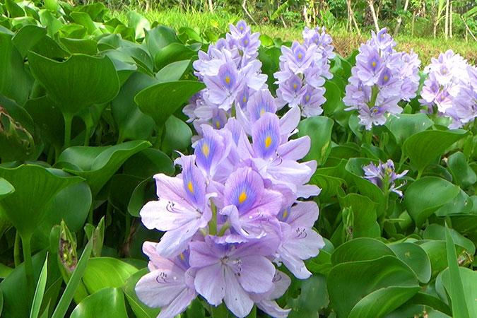 Dlium Common water hyacinth (Eichhornia crassipes)
