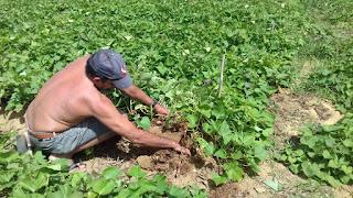 Campo sustentável transforma o modo de plantio dos agricultores com prática sustentável, em Picuí