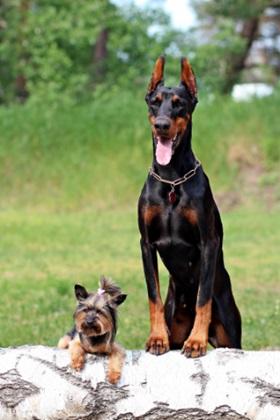 تدريب الكلاب علي الهجوم بأمر منك