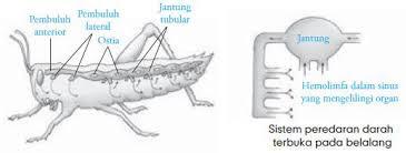 Sistem Peredadararan Darah Pada Serangga