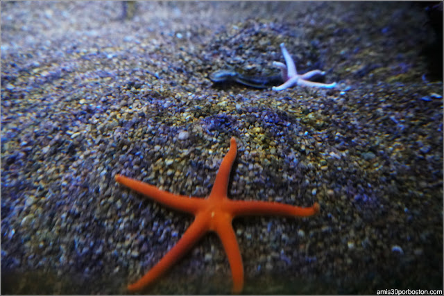 Estrellas de Mar en la Northern Waters Gallery