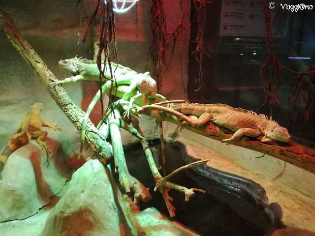 Iguane nelle vasche del rettilario di Leolandia