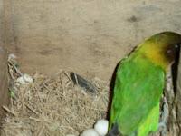 Mengatasi Telur Lovebird Tidak Menetas Atau Selalu Gagal