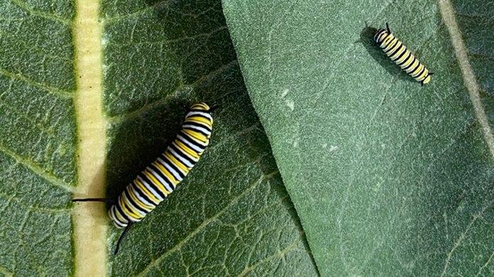 tırtıl nasıl kelebek olur