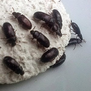 Hasil gambar untuk semut jepang