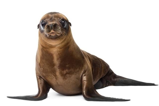 anjing laut ikoy koy