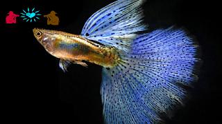 Jenis ikan guppy Japanese Blue