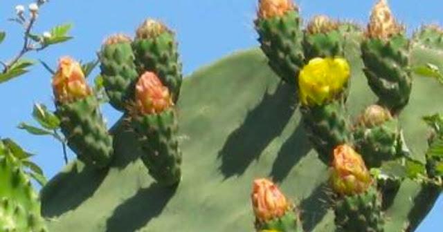Το φραγκόσυκο ή κακτόσυκο είναι φρούτο, καρπός της φραγκοσυκιάς ή κακτοσυκιάς