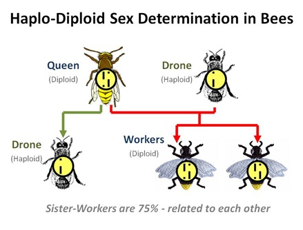 How Is Sex Determined In Most Ants And Bees 38