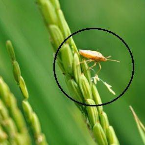 Hama Dan Penyakit Pada Tumbuhan Beserta Panjelasannya