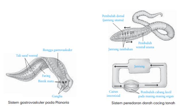 Sistem Sirkulasi cacing