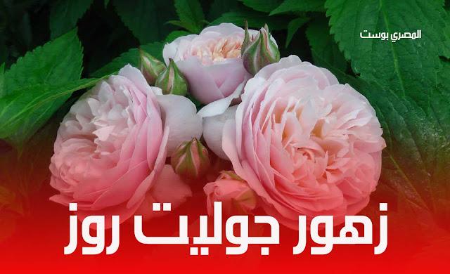 زهور جوليت روز - صور ورد - صور ورود جميلة