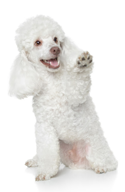 A happy white Poodle raises a paw for a reward