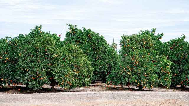 Orange (Malta) fruit crop Guidelines for Ambia bahar 8