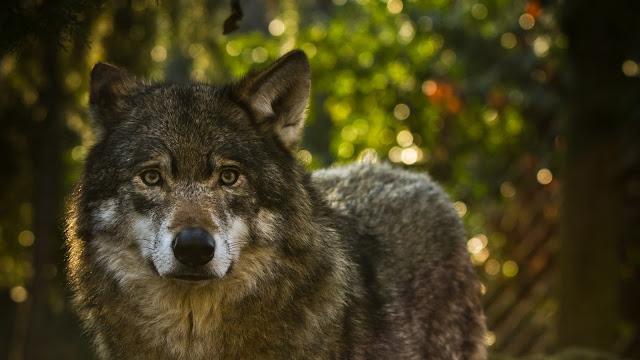Lobo, Predador, Cinza, Animal