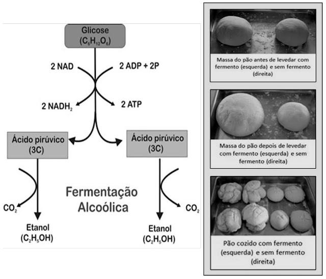 O esquema abaixo e a figura ao lado mostram o processo de fermentação alcoólica e a produção de pão